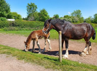 Cotebrook Shire Horse Centre And Country Park