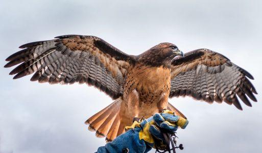 Cheshire Falconry