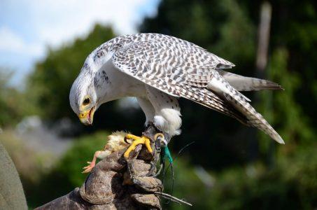 Gauntlet Bird Of Prey Eagle And Vulture Park